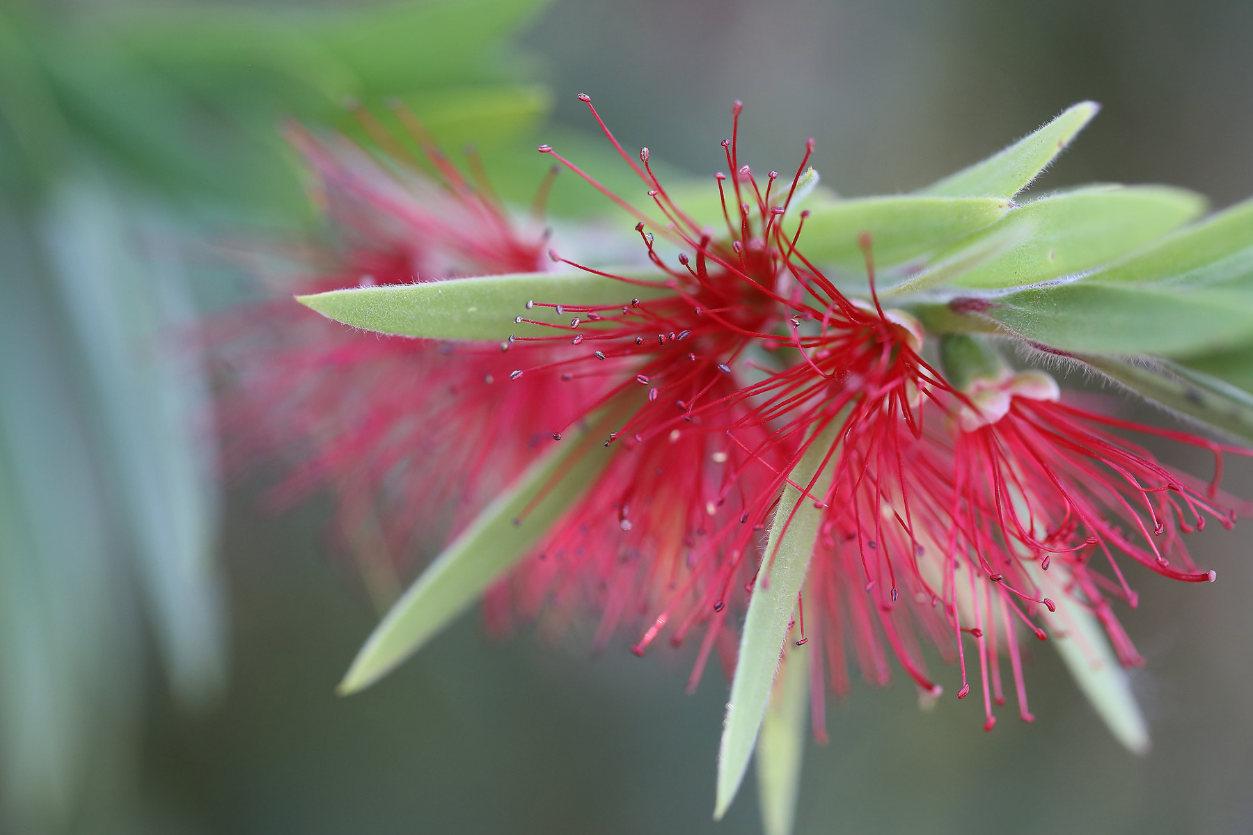 Photograph Bottle Brush Flower by Pieter Oosthuysen on 500px