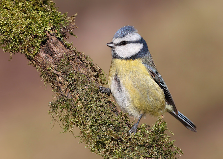Photograph Blue tit by Karen Summers on 500px