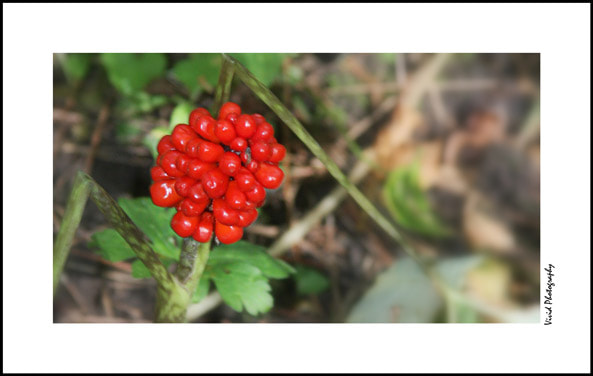 Photograph Red popper in the forest by Judee Schofield on 500px