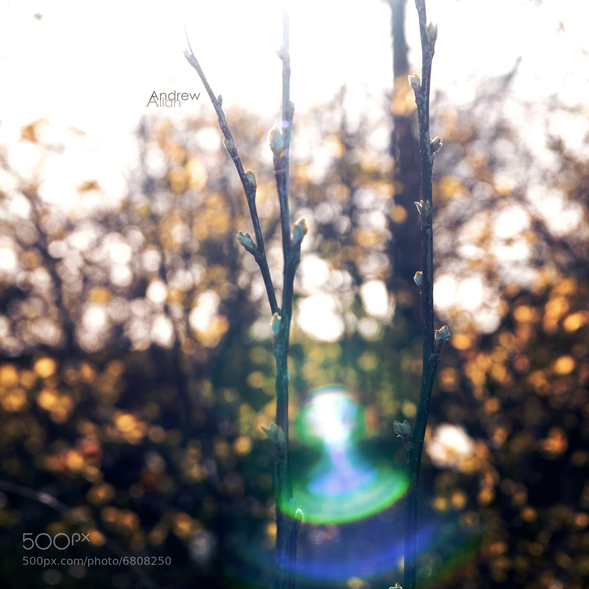 Photograph Buds, Bokeh & Flare by Andrew Allan on 500px