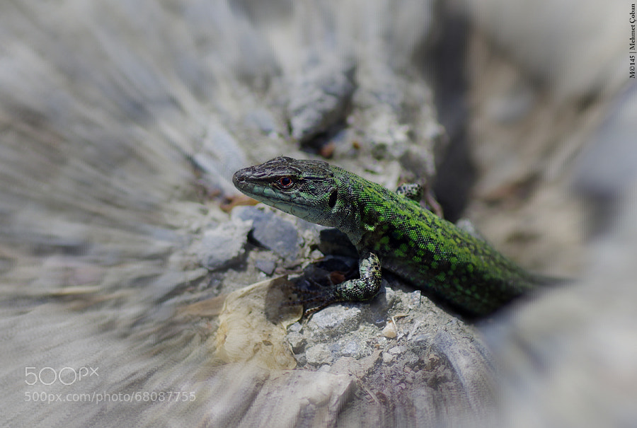 Photograph green Lizard by Mehmet Çoban on 500px