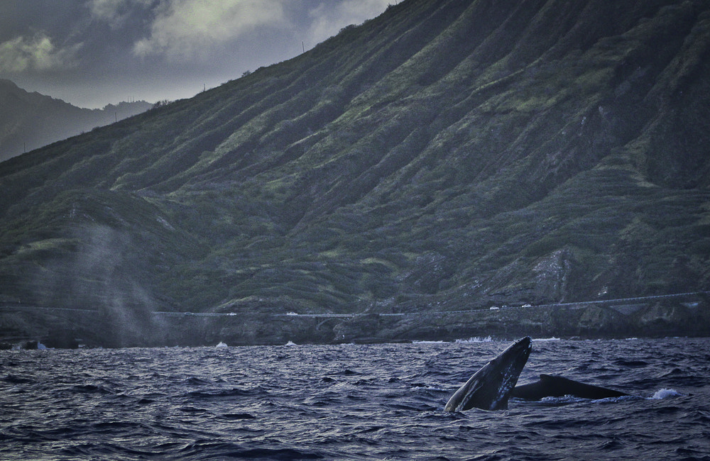 Photograph Mom and calf humback whale swimming through breeding grounds on Oahu HI by Kristen Wheeler on 500px