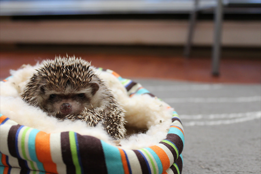 Photograph Grumpy Hedgehog by Sam Schafhauser on 500px