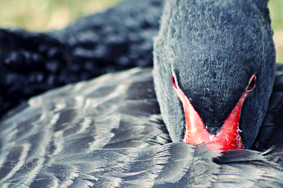 Photograph Black Swan II. by Alan Grecco on 500px