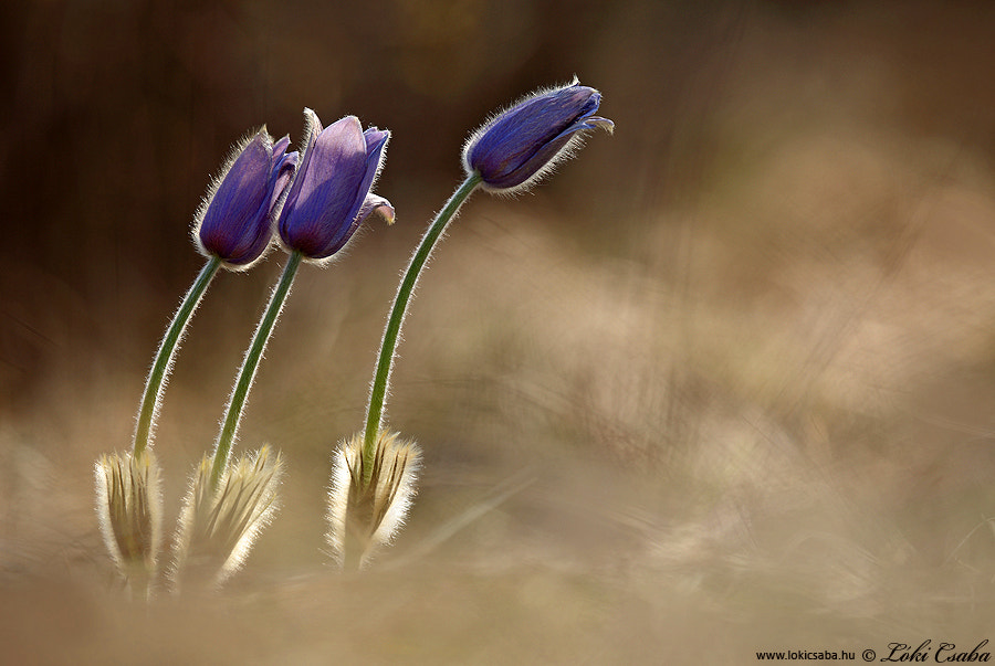 Photograph Pulsatilla grandis by Csaba Lóki on 500px