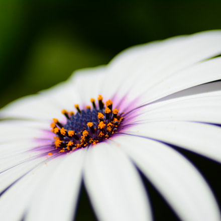 White Daisy With Purple Center - 2
