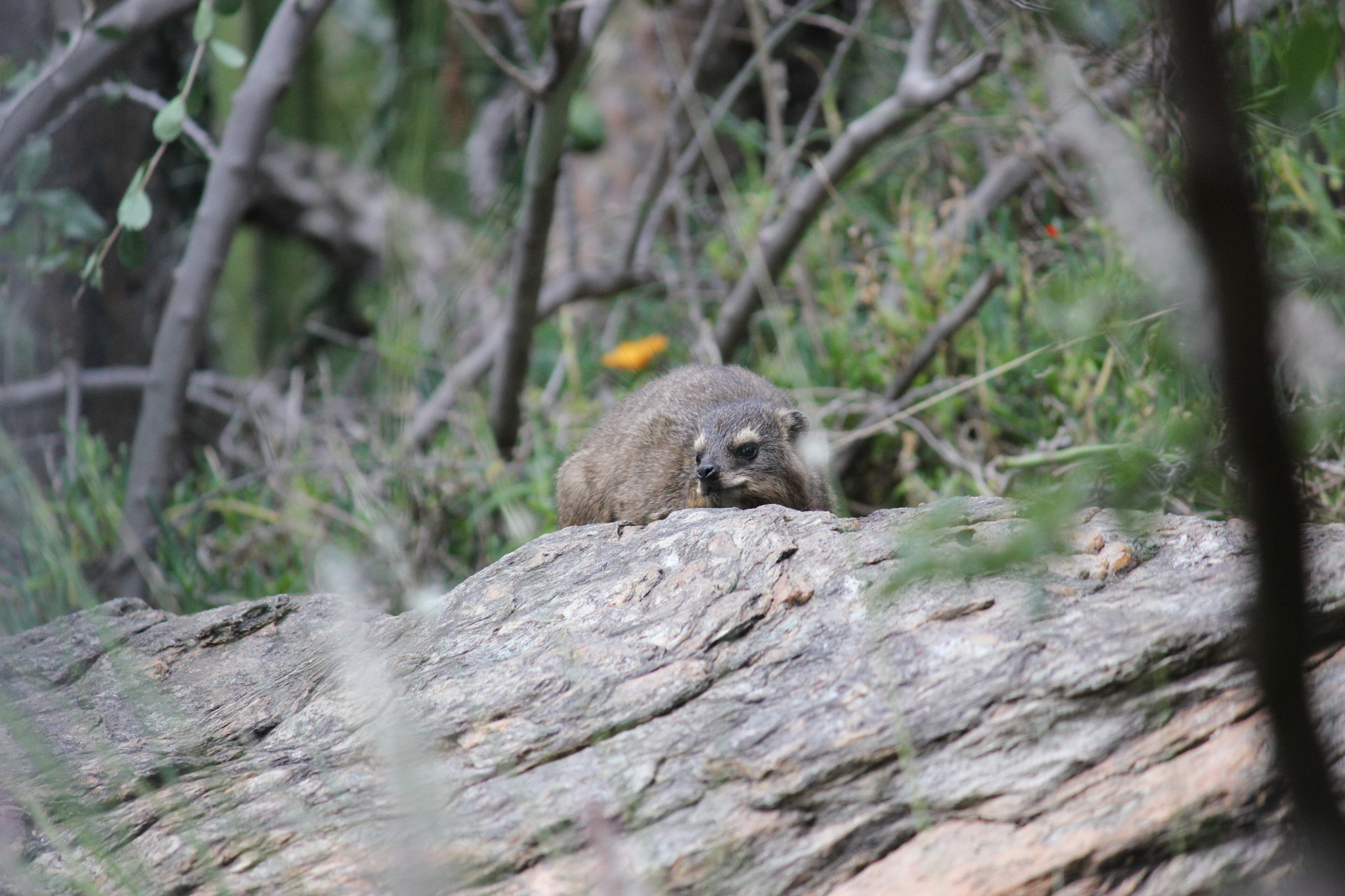 Photograph Rock Dassie :-) by Moments by Gudrun S. on 500px