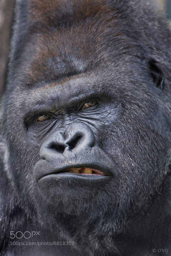 Gorilla face - photo#3