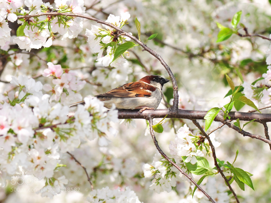 Photograph Sparrow in Blossom by Arkorn Soikaew on 500px
