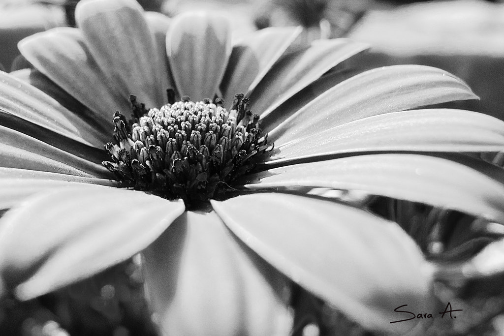 Photograph Margarita - FLOWER by Sara Alarcón on 500px