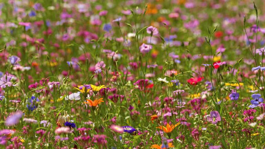 Blumenmeer by Patrick Jendrusch on 500px.com