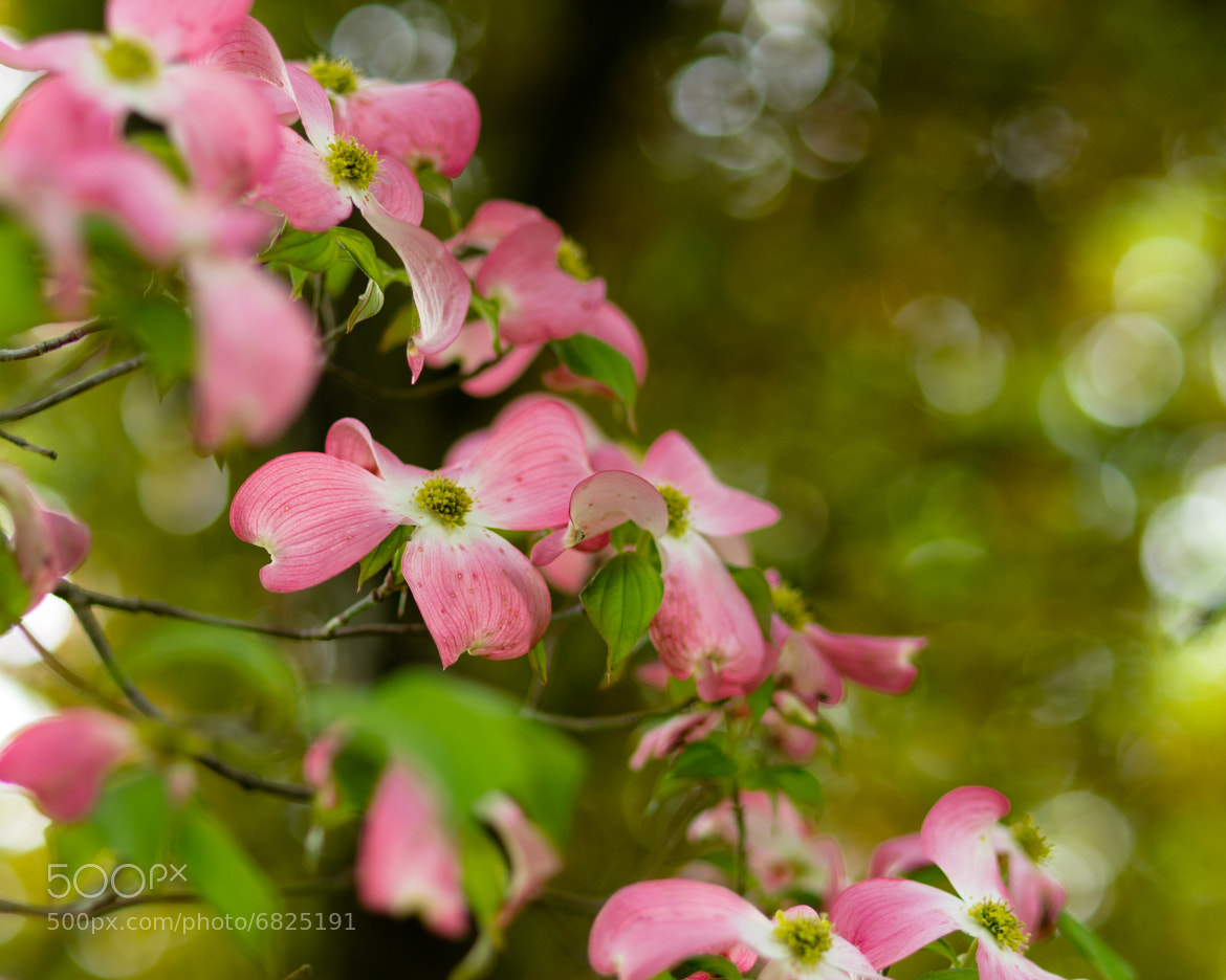 Photograph Pink Dogwood Blooms by Lori Coleman on 500px