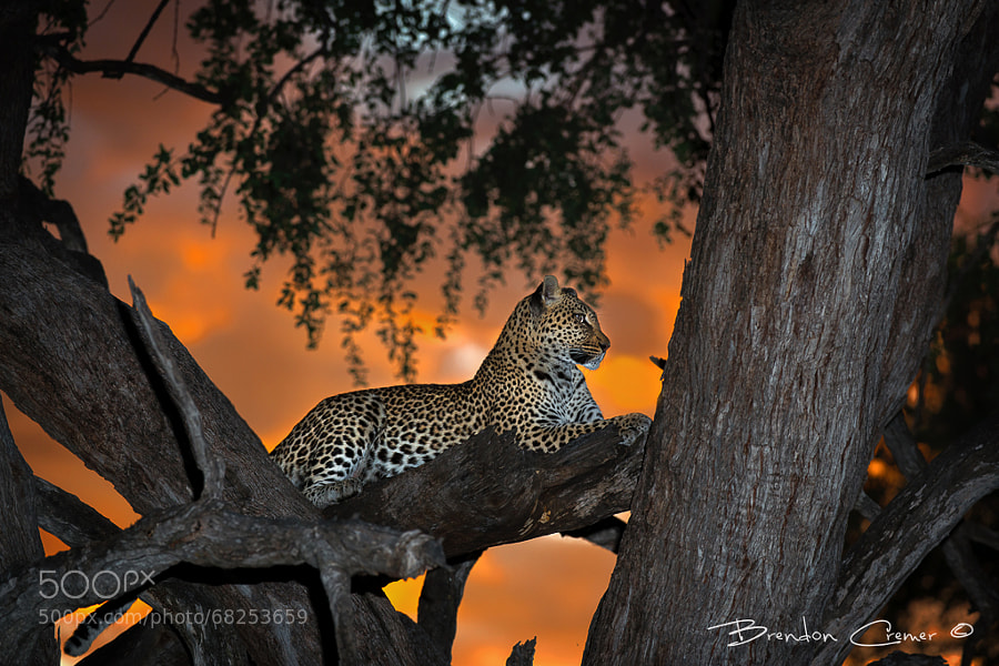 Photograph Khwai Leopardess by Brendon Cremer on 500px