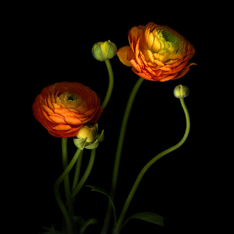 Photograph UP WHERE WE BELONG... THE ORANGE RANUNCULUS by Magda Indigo on 500px
