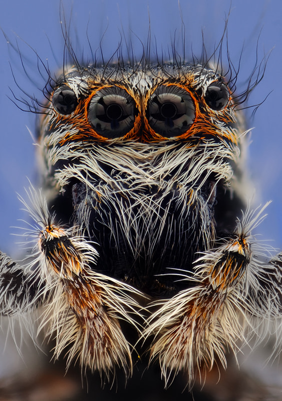 Photograph Jumper Spider 2 by Soheil Shahbazi on 500px