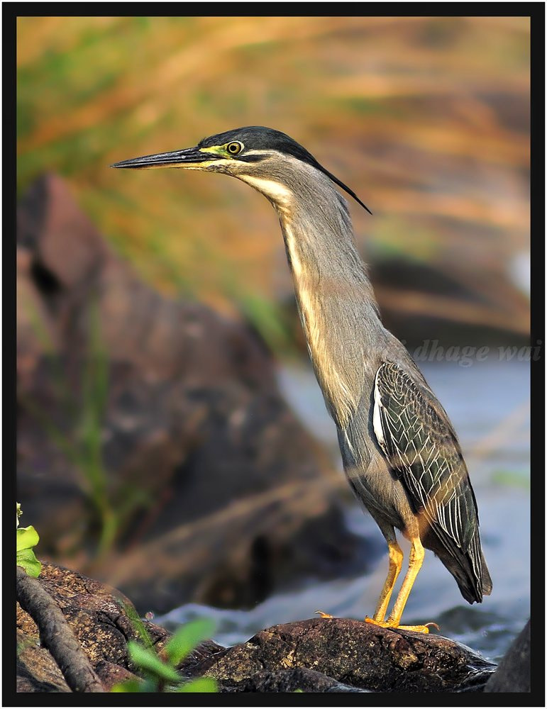 Photograph little heron by raj dhage on 500px