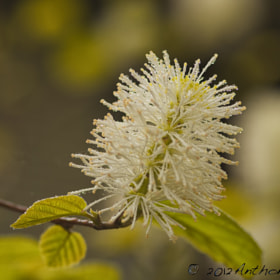 Fothergilla by Tony Vota (Techsavvyguru)) on 500px.com