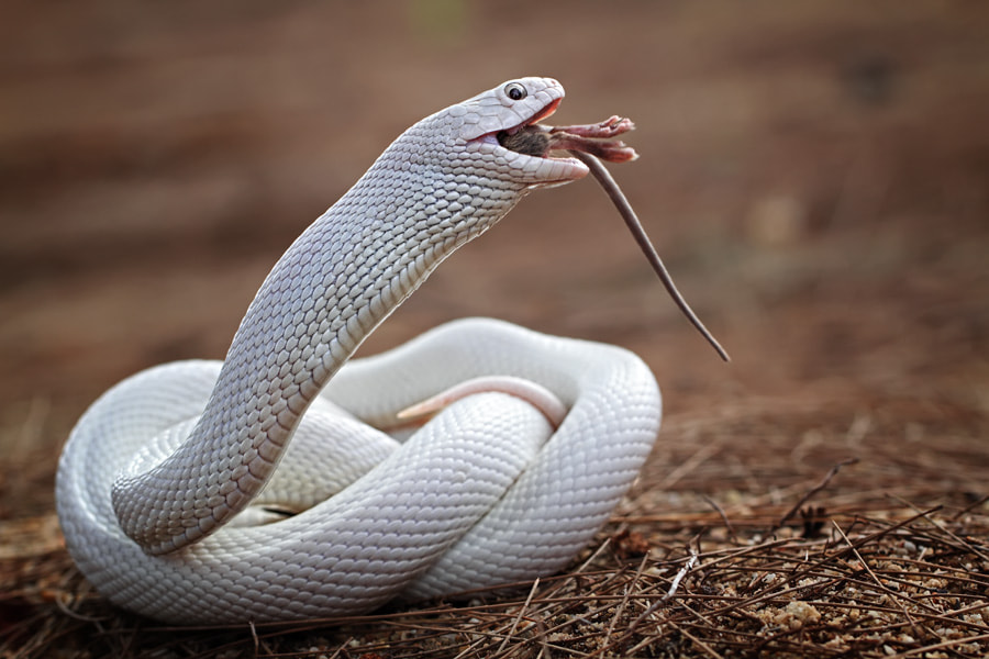 Photograph white snake by shikhei goh on 500px
