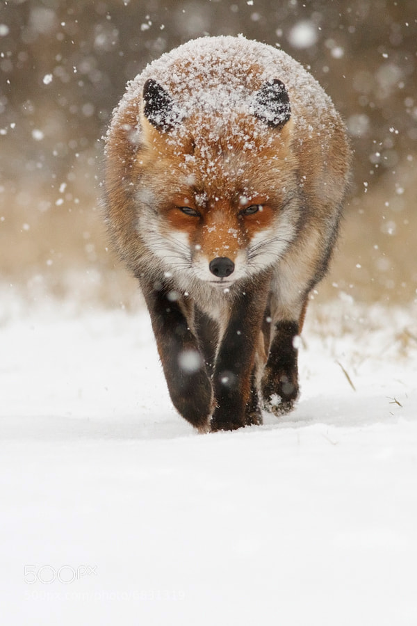 Photograph Snow Fox by Roeselien Raimond on 500px
