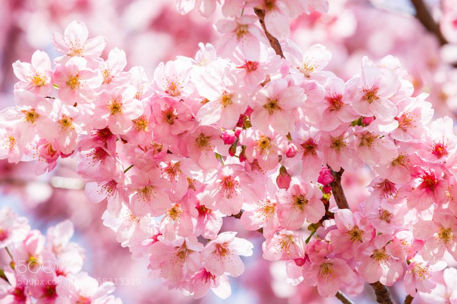 Cherry Blossom Shinjuku Gyoen Garden Tokyo
