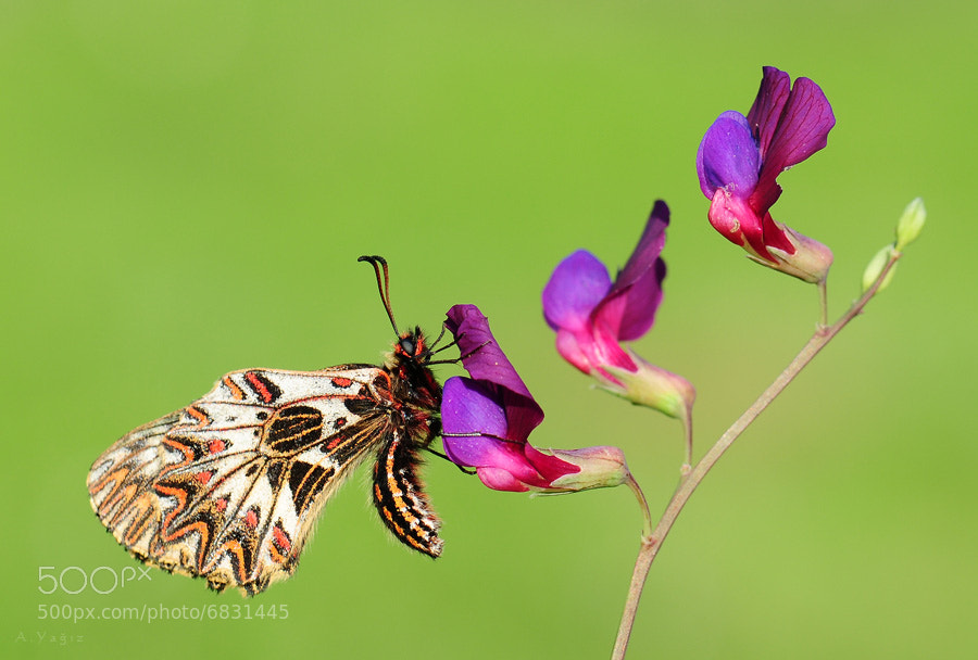 Photograph butterfly by Adem Yağız on 500px