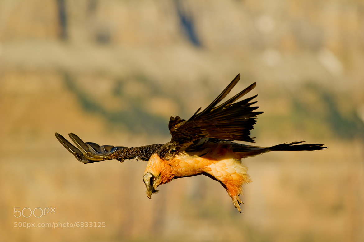 Photograph Quebrantahuesos adulto (Gypaetus barbatus) by Juan Ballesteros López on 500px
