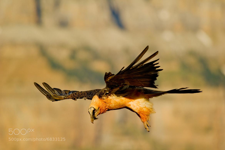 Photograph Quebrantahuesos adulto (Gypaetus barbatus) by Juan Ballesteros López on 500px