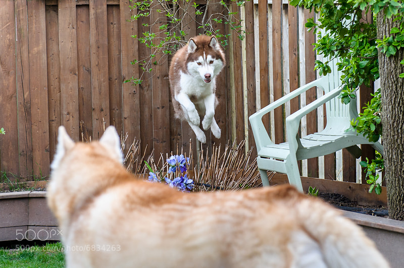Photograph Flying Siberian Husky by Jesse James Photography on 500px