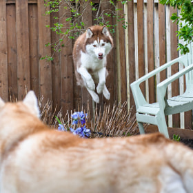 Flying Siberian Husky by Jesse James Photography (jessejamesphotography)) on 500px.com