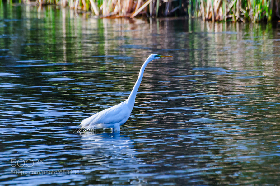 The Egret walking towards home in the reeds late this afternoon