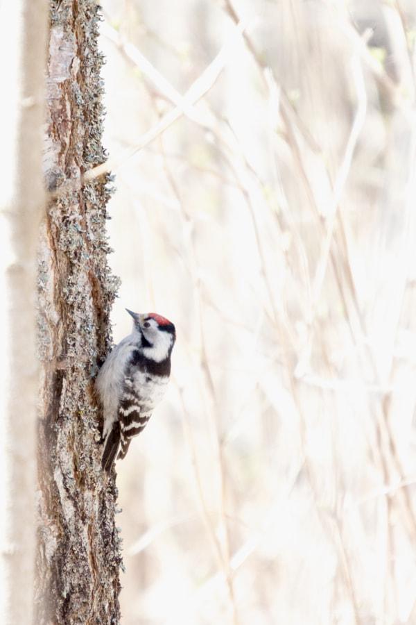 Lesser Spotted Woodpecker - Dendrocopus Minor