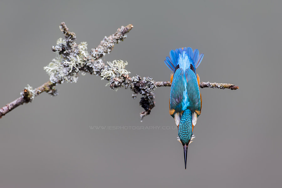 Kingfisher by Ian Schofield on 500px.com