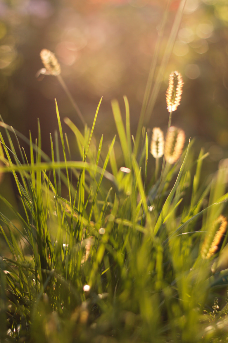 Photograph spike of timothy grass by Артем Обозный on 500px