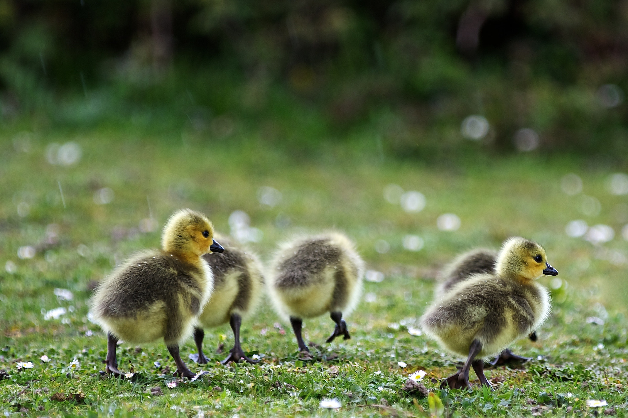 Photograph Goslings in the Rain by Steven Parker on 500px