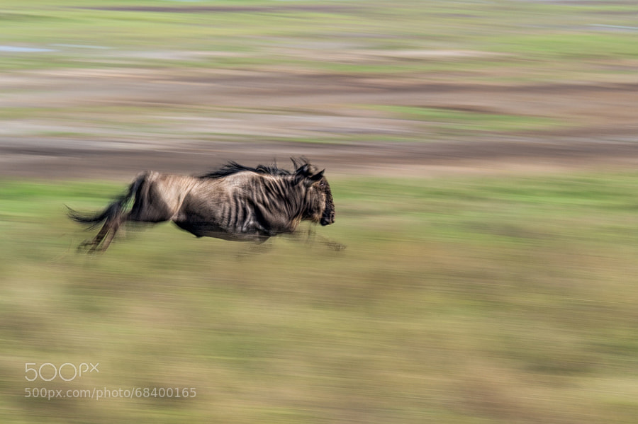 Photograph Gnu gallop by Marc MOL on 500px