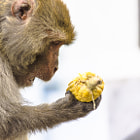 Постер, плакат: Rhesus macaque Macaca mulatta or Indian Monkey
