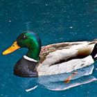 A beautiful Mallard Duck floating in the water in Tarzana, California.