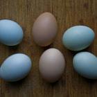 Beautiful, naturally colored eggs - hatched in a suburban backyard in Tarzana, California.