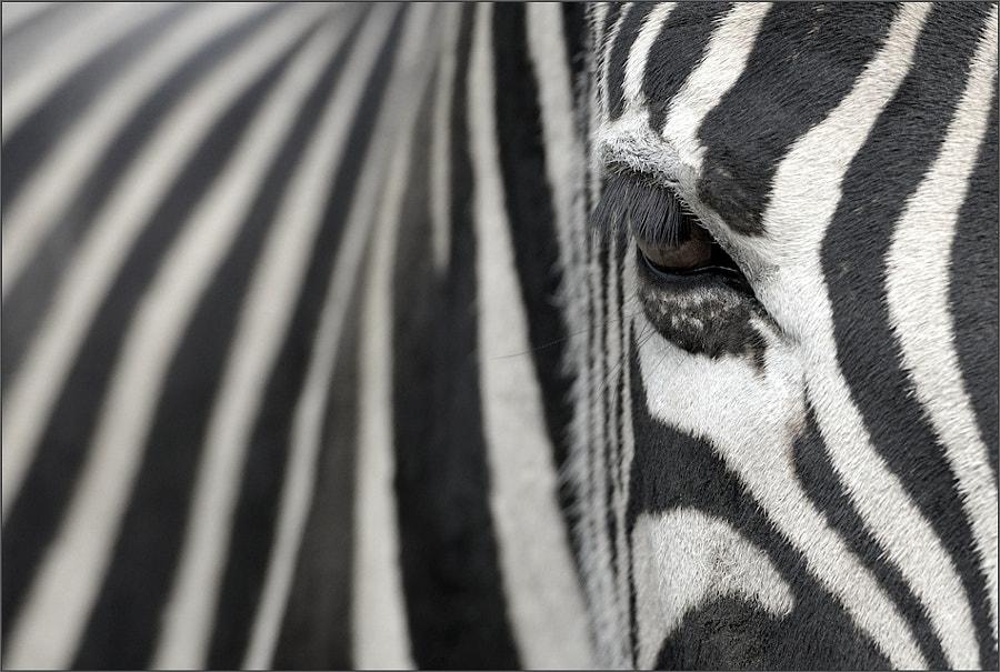 Zebra by Jochen Dietrich on 500px.com