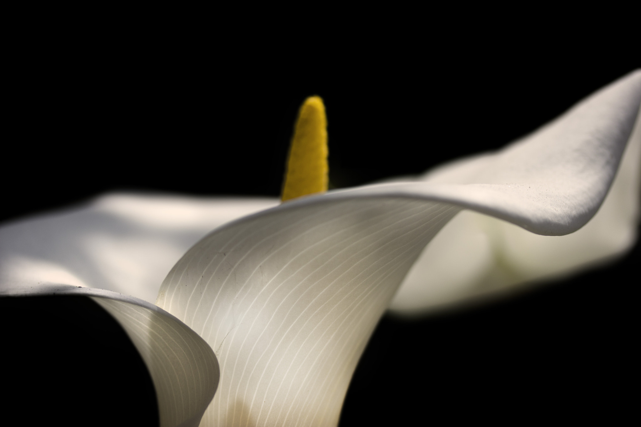 Photograph Calla Lily by Jason Moskowitz on 500px