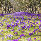 Постер, плакат: Spring in park field of crocuses