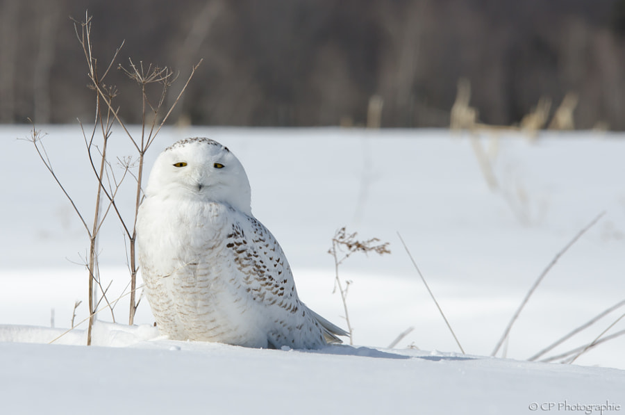 500px.comのChantal PimparéさんによるSmiling snowy owl