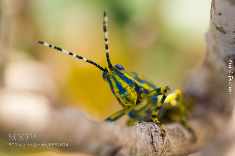 Photograph Painted Grasshopper by Deepak Praveen on 500px
