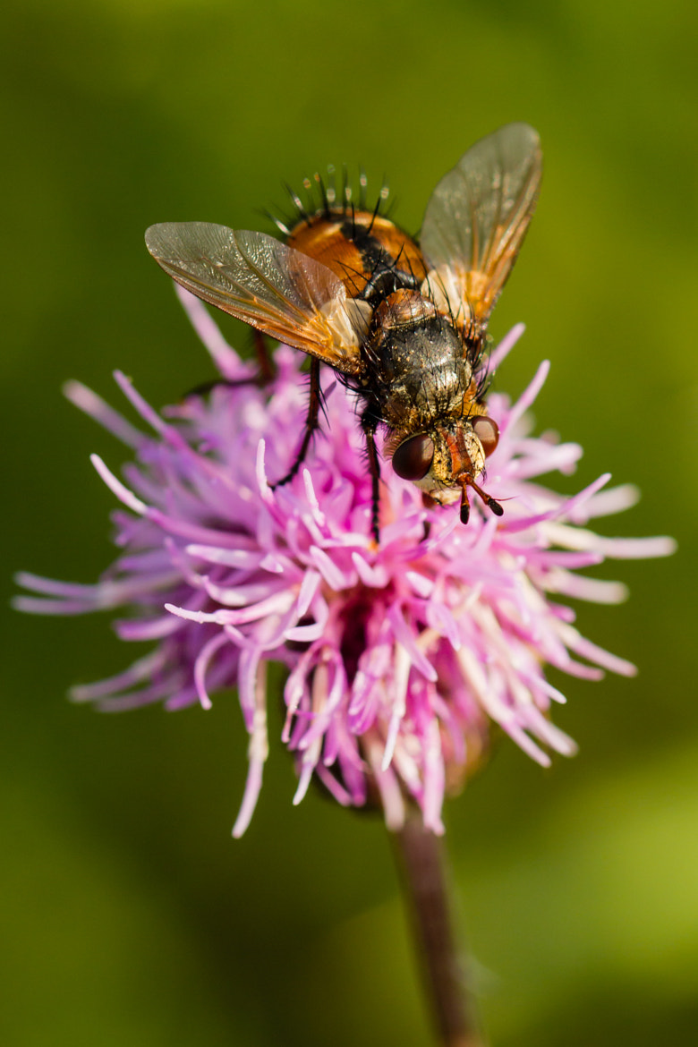 Photograph Fly on Flower by Markus _ on 500px