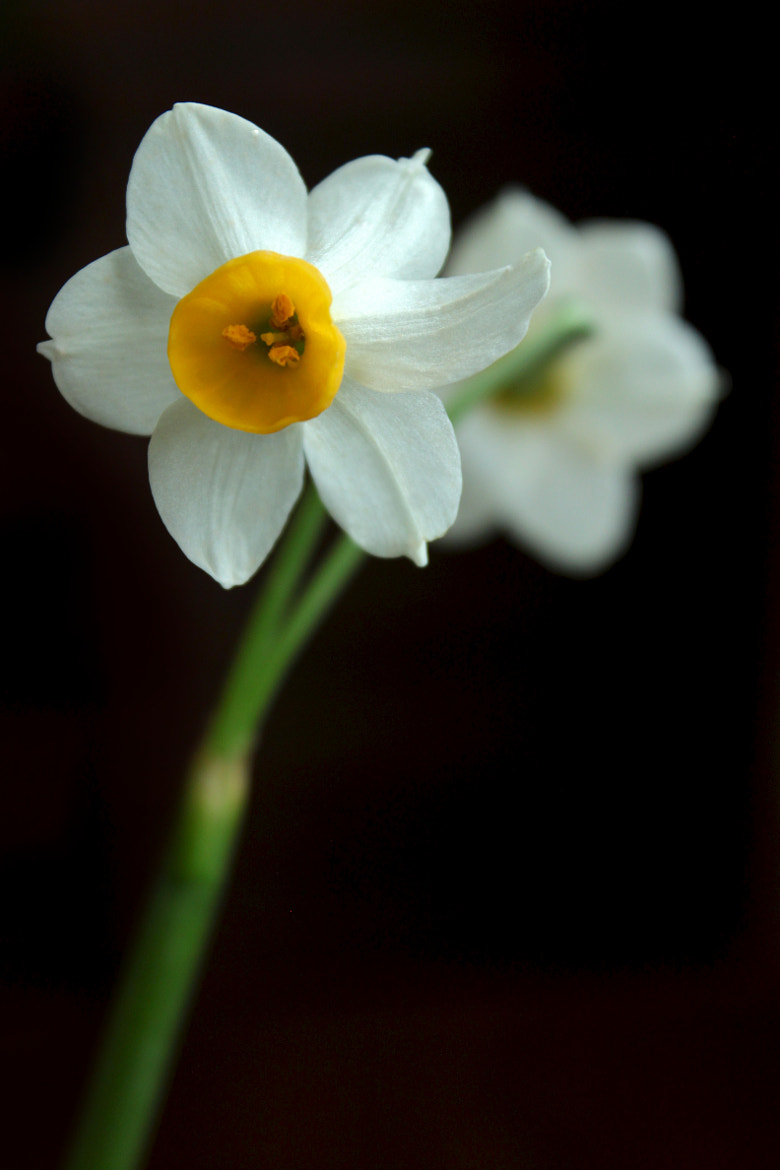 Photograph White Narcissus by Amir Reza Afsharian on 500px