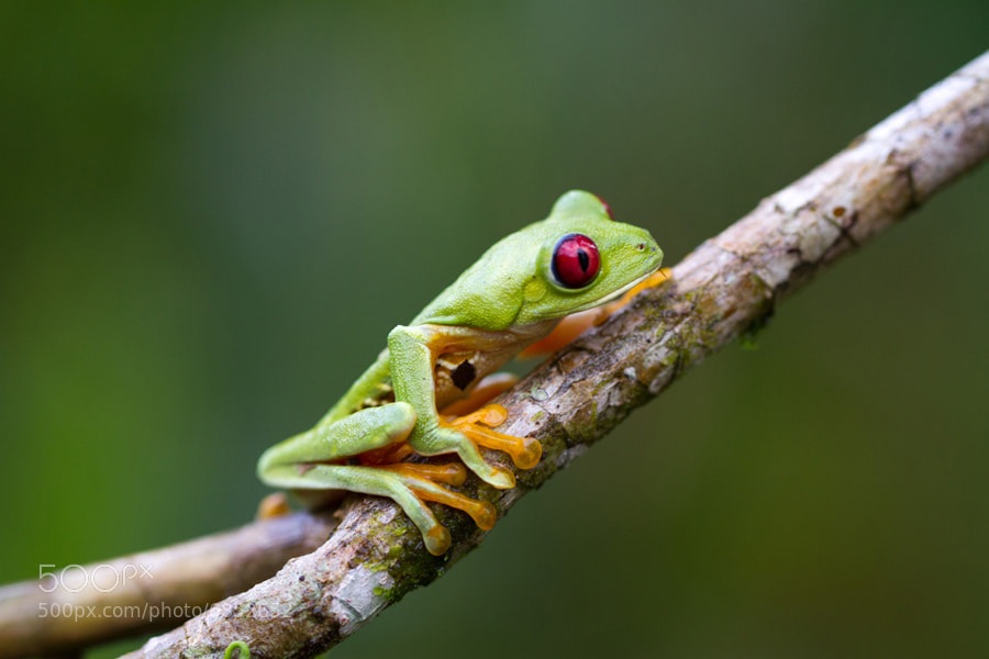 Photograph Frog - Costa Rica by Benjamin Nocke on 500px
