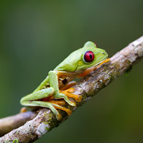 Frog - Costa Rica by Benjamin Nocke (huntington)) on 500px.com