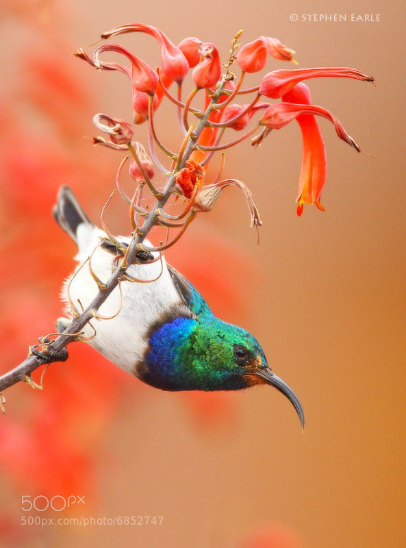 Photograph White-bellied Sunbird by Stephen Earle on 500px