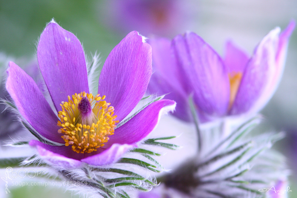 Photograph Anemone pulsatilla by Angela Raben on 500px