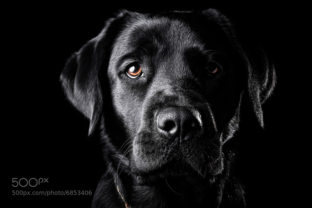 Photograph Black Lab by Oszkár Dániel Gáti on 500px